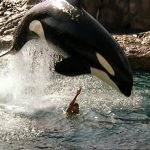 A real Killer Whale called Hoi Wai was filmed at Hong Kong's Ocean Park
